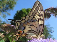 Een koninginnepage vlinder van dichtbij! Fotograaf: nelkuijten