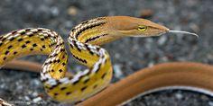 Angry Oriental Whip Snake (Ahaetulla prasina)