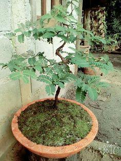 Indoor Bonsai Tree, Bonsai Art, Bonsai Garden, Garden Plants, Tamarind, Growing Plants, Planting, Diy And Crafts, Flora