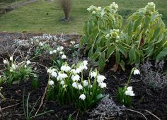 Snowdrops at Hodsock Priory.
