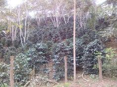 Segundo día: Villarica, plantaciones de café.