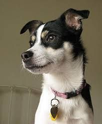 Image result for toy fox terrier mix