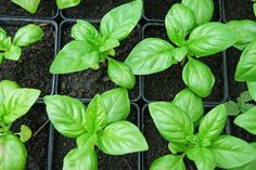A couple of weeks ago, we were talking homemade mozzarella and I mentioned my gigantic basil plants. Basically they're growing so large that they will consume my house. Here are the tips I know for growing mad basil. Indoor Vegetable Gardening, Organic Gardening, Container Gardening, Gardening Tips, Easy Herbs To Grow, Growing Herbs, Growing Vegetables, Herb Garden, Garden Plants