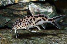 Synodontis Multipunctatus (Isomorphic until gravid) Aquarium Catfish, Discus Aquarium, Ocean Aquarium, Tropical Aquarium, Freshwater Aquarium Fish, Beautiful Tropical Fish, Beautiful Fish, Cichlid Fish, Aquarium Accessories