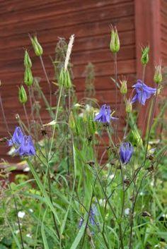Wildflower that we always picked!