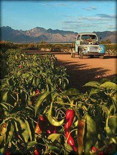 Chile is just part of New Mexico. State motto: Green or red? New Mexico Style, New Mexico Homes, New Mexico Usa, Mexico Art, Mexico Food, New Mexico Santa Fe, Travel New Mexico, American, New Mexican