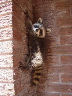 island of silence Cute Baby Animals, Animals And Pets, Nature Animals, Funny Animals, Strange Animals, Cute Creatures, Beautiful Creatures, Animals Beautiful, Pet Raccoon