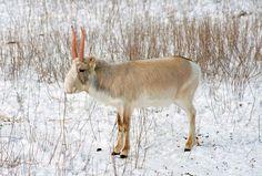Saiga antelope | CITES
