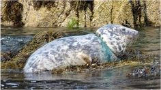 Grey seal was recently spotted on rocks at Kitterland with plastic around her throat