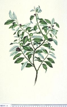 Pittosporum Tenuifolium -- New Zealand  -  Curtis's bot. Mag. 49: t. 2350 [1822].  The Endeavour botanical illustrations - artist Daniel Mackenzie