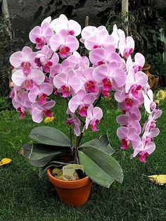 Tips on Propagating your orchid plants at Unusual Flowers, Amazing Flowers, Beautiful Flowers, Orchids Garden, Orchid Plants, Flowers Garden, Orquideas Cymbidium, Growing Orchids, Bloom
