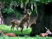 Deer trying to pluck leaves from tree at a zoo in Guwahati. DH Photo.