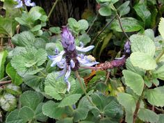 Plectranthus ornatusDog Bane flower also known as Scardy cat plant