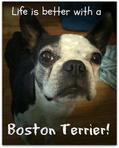 Repin & Share if you agree that your life is better because of your Boston Terrier! → http://www.bterrier.com/life-is-better-with-a-boston-terrier/ - https://www.facebook.com/bterrierdogs