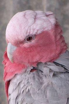 Galah /ɡəˈlɑː/, Eolophus roseicapilla, also known as the rose-breasted cockatoo, galah cockatoo, roseate cockatoo or pink and grey. Australia.
