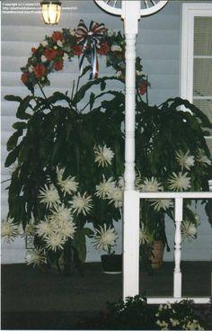 Full size picture of Dutchman's Pipe Cactus, Night blooming Cereus (Epiphyllum oxypetalum)