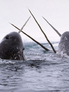 narwhals, the unicorn of the seas. Looks like a very awkward sort of appendage, doesn't it?