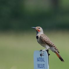 The Northern Flicker, seen here at Steigerwald National Wildlife Refuge in Vancouver, WA, is protected by the Migratory Bird Treaty Act, making it illegal to hunt, harm or kill this bird. No wonder he looks so happy!