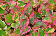 Houttuynia cordata, rainbow chameleon plant ... COLOR COLOR COLOR