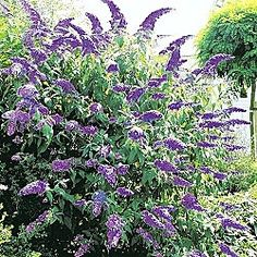 Maybe a new Butterfly Bush ?