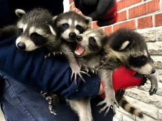 A bundle of raccoons   #liddlerascals #raccoon #cute