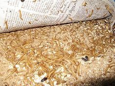 Meal worms are one of the best things you can raise yourself and feed to your birds. You can control the food the meal worms take in and feed the healthiest mealies to your own flocks. Meal worms are super easy to raise, have a very low start up cost and maintenance can be as little as 10 minutes twice a week.