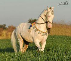 Kathiyawadi Horse, Horse Ears, Horse Bridle, All The Pretty Horses, Beautiful Horses, Marwari Horses, Golden Horse, Horse Anatomy, Horse Costumes