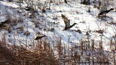 Photo of the Day Challenge – Ducks in Flight - News - Bubblews