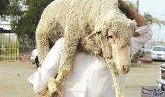 السعودية تعلن ذبح أكثر من 840 ألف رأس ماشية خلال موسم الحج: أعلنت السلطات السعودية، الأحد، ذبح أكثر من 840 ألف رأس ماشية خلال موسم الحج فى…
