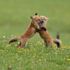 Red Fox Cubs by Cathy Simard