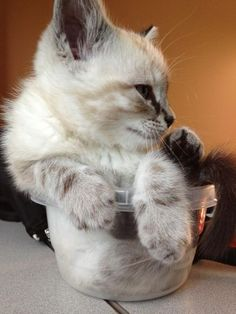 """Cats learn """"If I fits, I sits"""" very early in life!"""