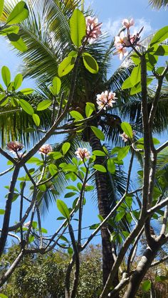 Mauritian Frangipani