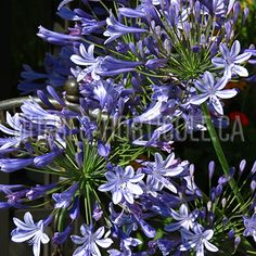 Just bought 2 of this lovely dark blue Agapanthus Donau at reduced price Backyard Plants, Agapanthus, Dream Garden, Planting Flowers, Dupont, Photos, Coin, Dark Blue, Spring