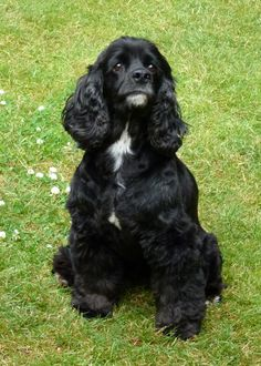 """Lady"" our black cocker spaniel looked much like this. Our Bella too!"