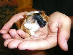 Cute Baby Guinea Pigs | Cute Baby Guinea Pig | Flickr - Photo Sharing!
