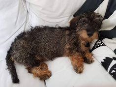 Daschund, Dachshund Love, Weenie Dogs, Doggies, Baby Puppies, Dogs And Puppies, Big Dogs, Cute Dogs, Scruffy Dogs