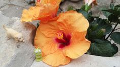 The Little Alien & Boots  beside the beautiful Hibiscus Flower !