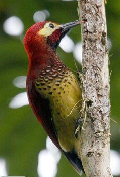 Pica_Pau_Carmesin ( Macho ) ------ ( Piculus rivolii ) -  Bolívia , Colômbia , Equador , Peru e Venezuela.