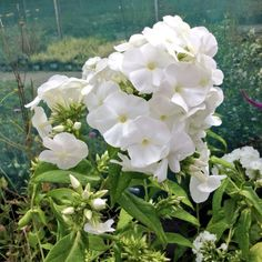 Phlox paniculata White Admiral - masses of pure white fragrant flowers