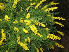 SWEET BROOM CARE: Sweet Broom is a fast-growing evergreen tree that grows to a height of between 6 and 8 feet and spreads to between 5 and 6 feet. A member of the pea family, the shrub is notable for its fragrant, bright yellow blooms. Sweet broom is very low-maintenance, requiring little care once established.
