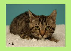 Kela is an adoptable Domestic Short Hair Cat in Aiken, SC. Hey new friend! My name is Kela! Please come visit me, you'll love me, I promise! I am sweet, and would love to snuggle with you! S.P.C.A. Al...