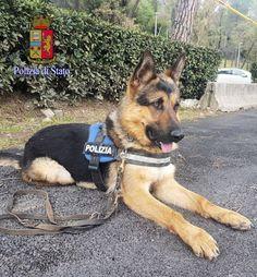 Da randagio a poliziotto antiterrorismo: è il riscatto di Ares, da oggi in servizio :http://www.qualazampa.news/2018/04/06/da-randagio-a-poliziotto-antiterrorismo-e-il-riscatto-di-ares-da-oggi-in-servizio/