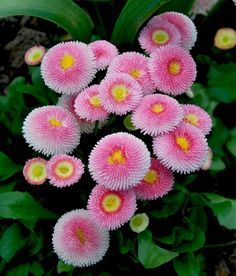 Cheap garden plants perennials, Buy Quality garden mosquito directly from China plant poetry Suppliers: Rare 400 Pink English Daisy Seeds Perennial Cut-Flowers DIY Home Garden Plant Unusual Flowers, All Flowers, Amazing Flowers, My Flower, Beautiful Flowers, Beautiful Gorgeous, Seasonal Flowers, Flores Diy, Bellis Perennis