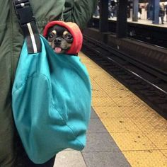 chi chi in a bag in New York!