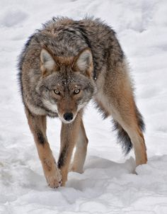 Approaching coyote by Paul Garner.  While this may look like a wolf at first glance, the smaller size and different head shape set it apart.