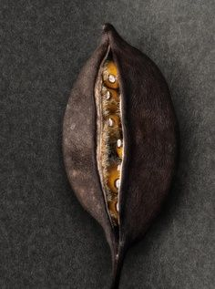 Flame tree seed pod
