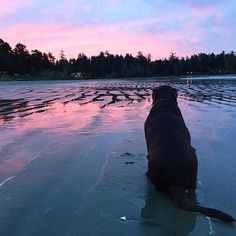 Our doggy visitors love roaming MacKenzie Beach. Especially with a beautiful sunrise like this. Photo by: fulltimecanada via IG Tofino Bc, Beautiful Sunrise, Beach Resorts, Glamping, Lab, Canada, Adventure, Instagram Posts, Go Glamping