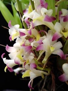 Coelia bella... love this orchid. It smells just like almond extract.