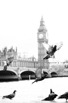 Big Ben pigeons
