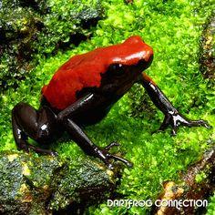 Adelphobates Galactonotus Red